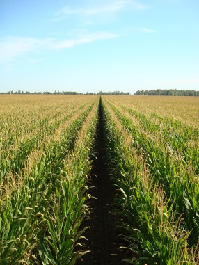 California Corn Crop